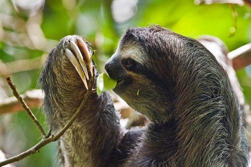 amazzonia bradipo
