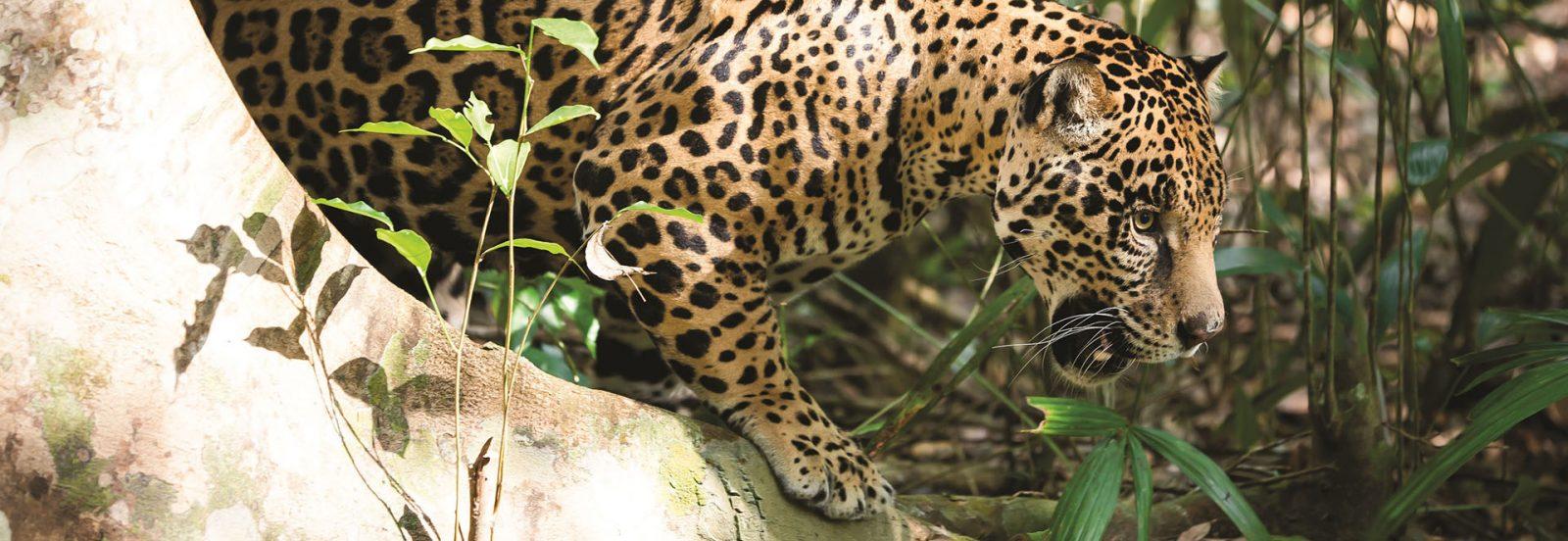 La Rotta del Giaguaro